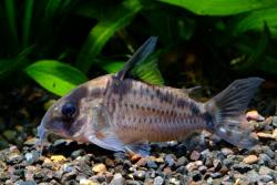 Corydoras(ln9) sp. (C100) - Click for species data page