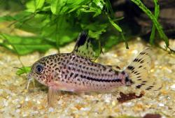 Corydoras(ln9) sp. (C120) - Click for species data page
