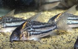 Corydoras(ln9) sp. (C133) - Click for species data page
