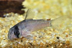 Corydoras(ln9) sp. (C134) - Click for species data page