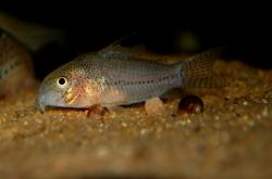 Corydoras(ln9) sp. (C136) - Click for species page
