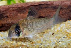 Corydoras(ln9) sp. (C139) - Click for species page