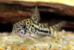 Corydoras(ln9) sp. (C150) - Click for species page