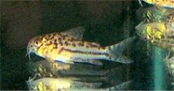 Corydoras(ln9) sp. (C150)