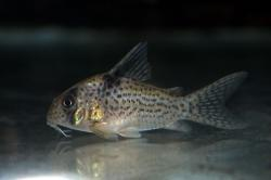 Corydoras(ln9) sp. (Cw001) - Click for species data page