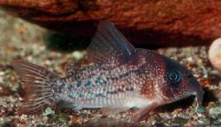 Corydoras(ln9) sp. (Cw004) - Click for species data page