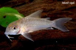 Corydoras(ln9) sp. (Cw015) - Click for species data page