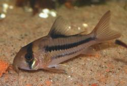 Corydoras(ln9) sp. (Cw021) - Click for species data page