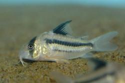 Corydoras(ln9) sp. (Cw021)