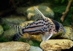 Corydoras(ln9) sp. (Cw028) - Click for species data page
