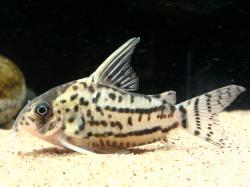 Corydoras(ln9) sp. (Cw028)