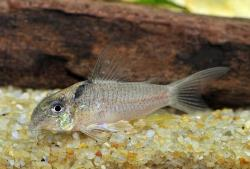 Corydoras(ln9) sp. (Cw030) - Click for species data page