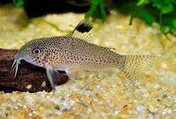 Corydoras(ln9) sp. (Cw037) - Click for species data page