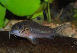 Corydoras(ln9) sp. (Cw039) - Click for species data page