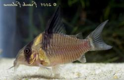 Corydoras(ln9) sp. (Cw045) - Click for species data page