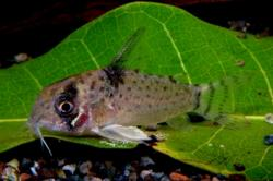 Corydoras(ln9) sp. (Cw046) - Click for species data page
