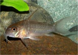 Corydoras(ln9) sp. (Cw047) - Click for species data page
