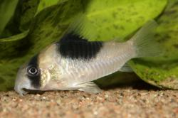 Corydoras(ln9) sp. (Cw051) - Click for species data page