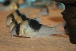 Corydoras(ln9) sp. (Cw051)