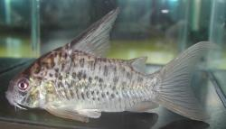 Corydoras(ln9) sp. (Cw086) - Click for species data page