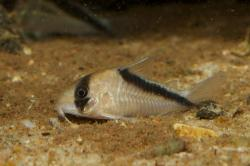 Corydoras(ln9) sp. (Cw091) - Click for species data page