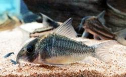 Corydoras(ln9) sp. (Cw102) - Click for species data page