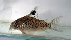 Corydoras(ln9) sp. (Cw103) - Click for species data page