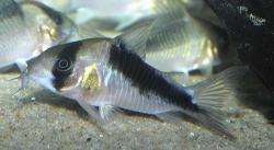 Corydoras(ln9) sp. (Cw107)
