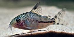 Corydoras(ln9) sp. (Cw109) - Click for species data page