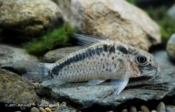 Corydoras(ln9) sp. (Cw112) - Click for species data page