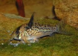 Corydoras(ln9) sp. (Cw115) - Click for species data page