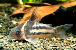 Corydoras(ln9) sp. (Cw127) - Click for species data page