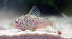 Corydoras(ln9) sp. (Cw140) - Click for species page