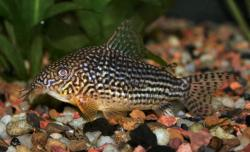 Corydoras(ln9) sterbai - Click for species page