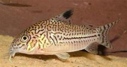 Corydoras(ln9) trilineatus - Click for species page