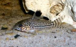 Corydoras(ln9) trilineatus