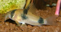 Corydoras(ln9) weitzmani