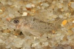 Corydoras(ln9) xinguensis - Click for species data page