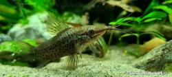 Hoplosternum punctatum - Click for species data page