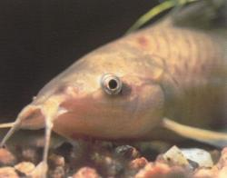 Lepthoplosternum pectorale