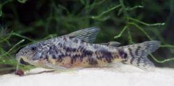 Scleromystax macropterus - Click for species page