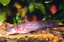 Denticetopsis praecox