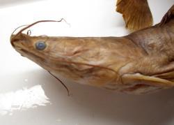 Bathyclarias nyasensis