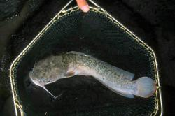 Clarias anguillaris - Click for species page