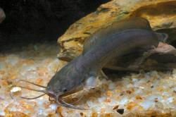 Clarias fuscus - Click for species page