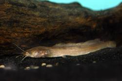 Clarias jaensis - Click for species page