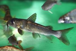 Chrysichthys nigrodigitatus