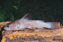 Lophiobagrus brevispinis - Click for species data page