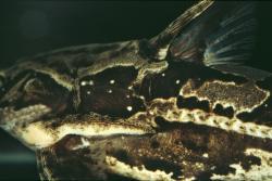 Anadoras grypus
