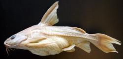 Centrochir crocodili - Click for species data page